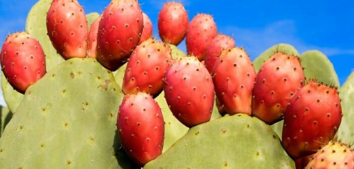 Le nopal un cactus pour maigrir